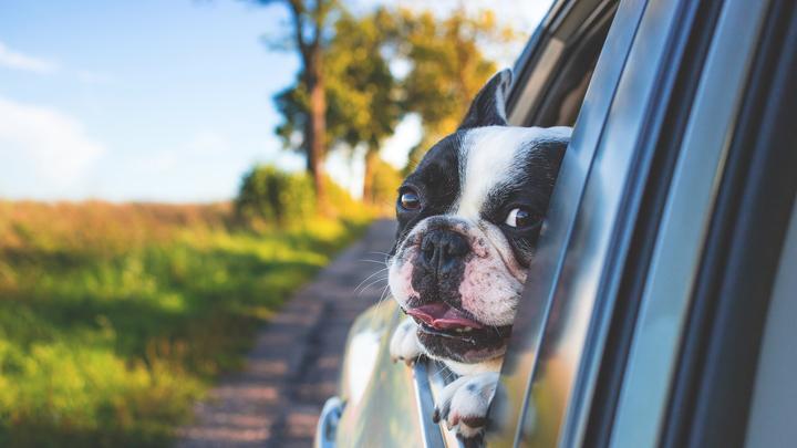 perros-mareos-coche