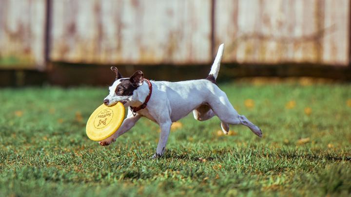 dog-Frisbee