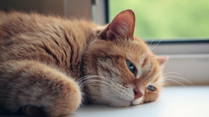 gatos-propensos-golpe-calor
