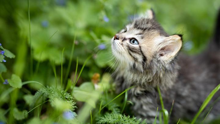 gato-hierba
