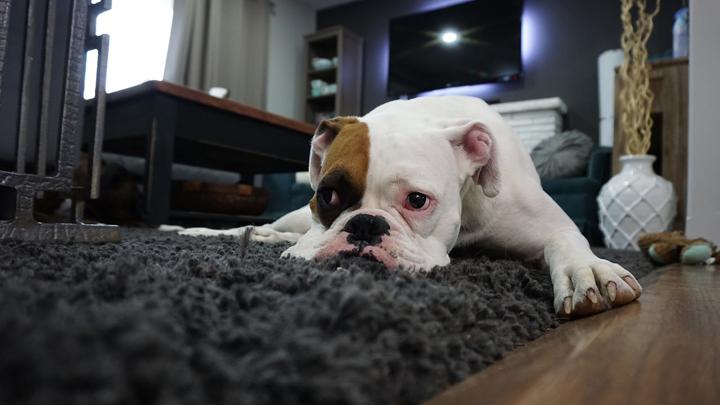 perros-deprimidos