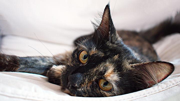 gatos-exoticos