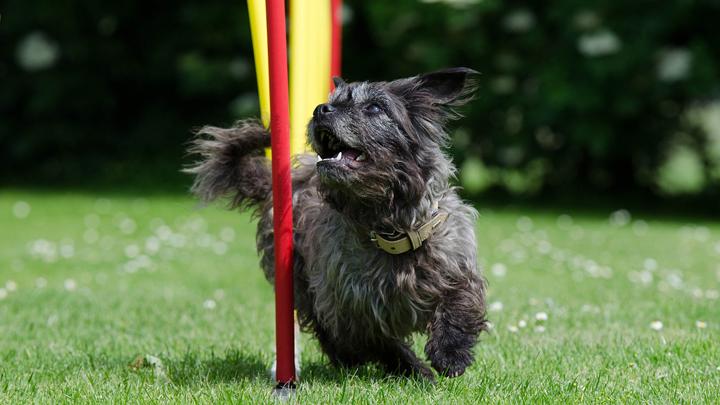 agility-perros