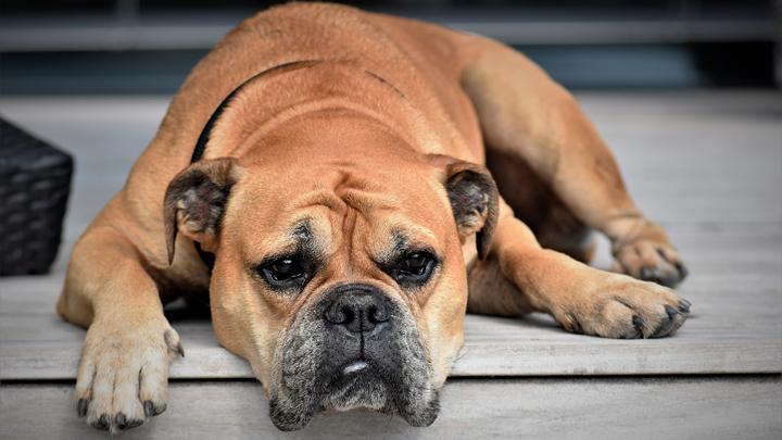 perro otonal
