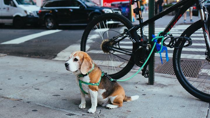 perros-bikejoring