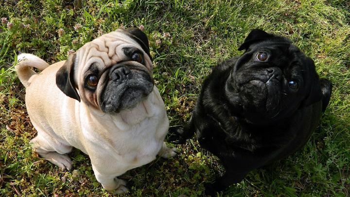 perros-gordos