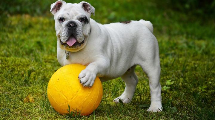 perros-diestros