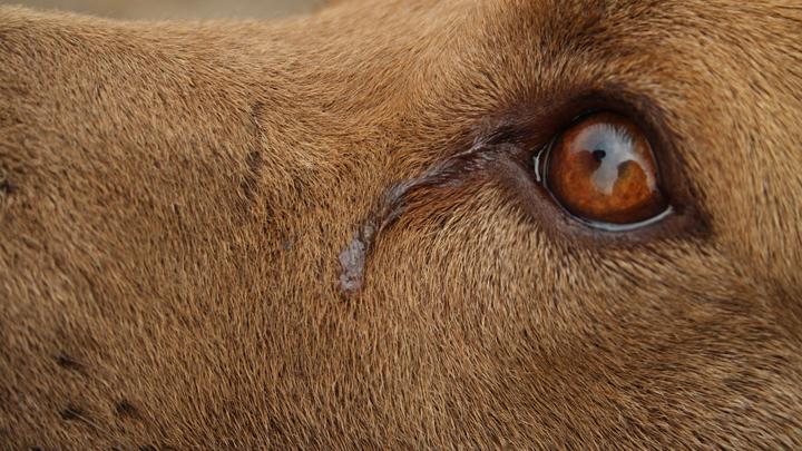 perros-llanto