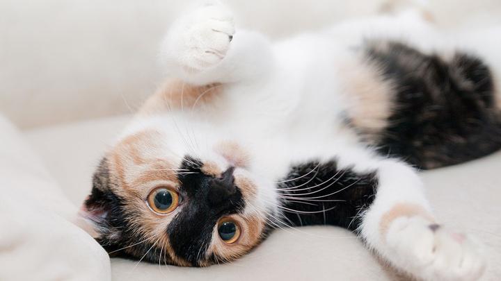 gato-vias-urinarias