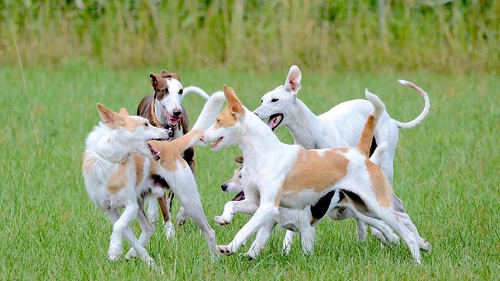 perros-correr