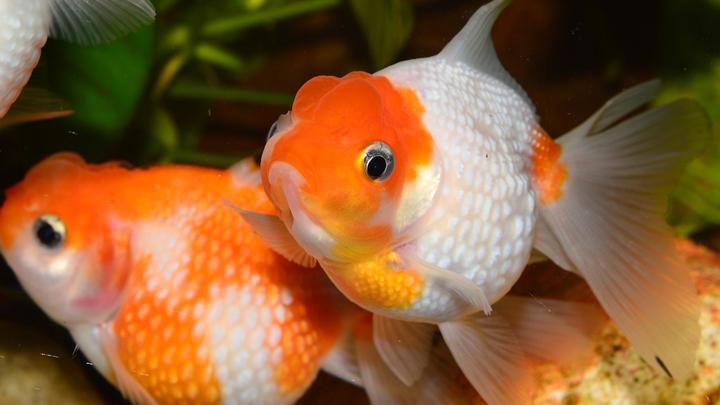 pez-goldfish