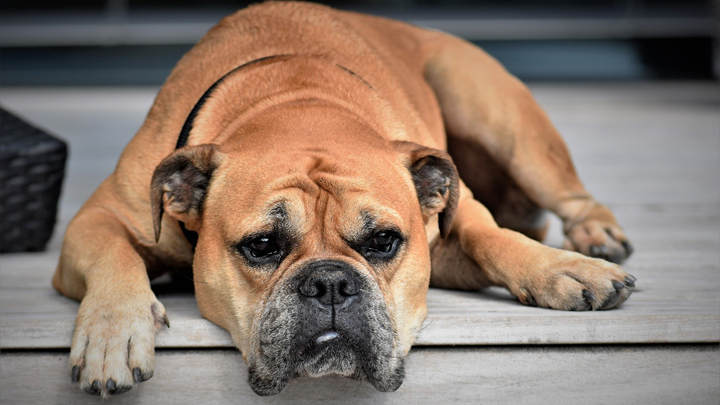 coronavirus-perros