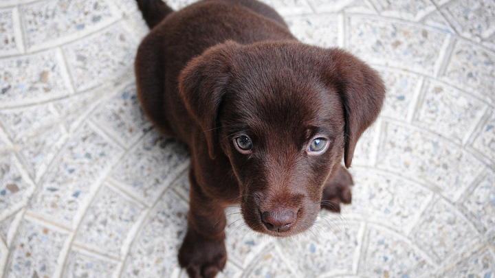 parvovirus-cachorros