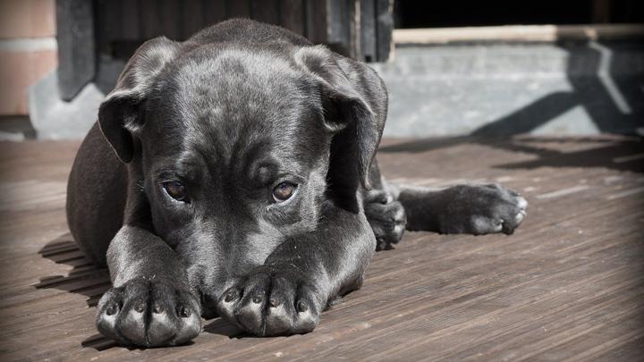 perros-coronavirus