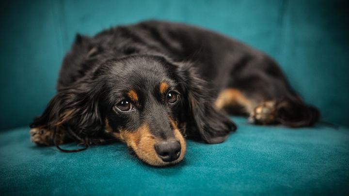 perros-parvovirus