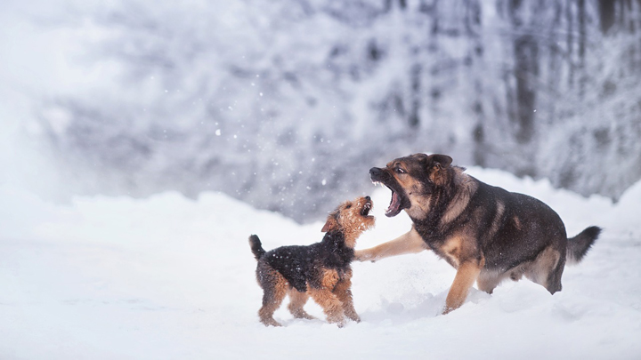 perros-pelea