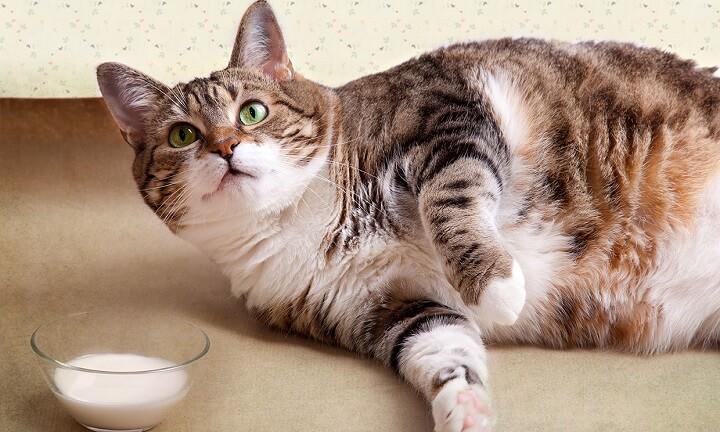 gato-con-sobrepeso