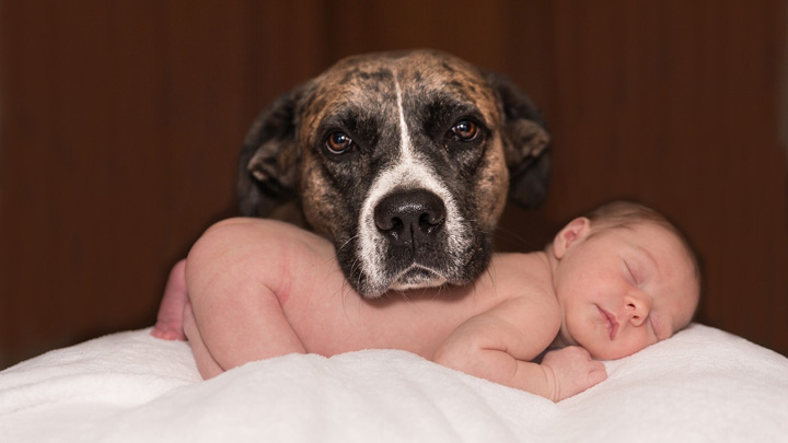 perros-embarazo