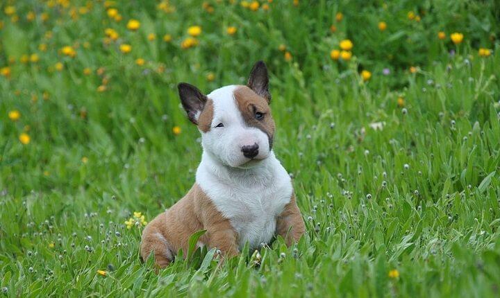 bull-terrier-mini
