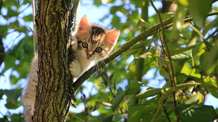 gato-maullido