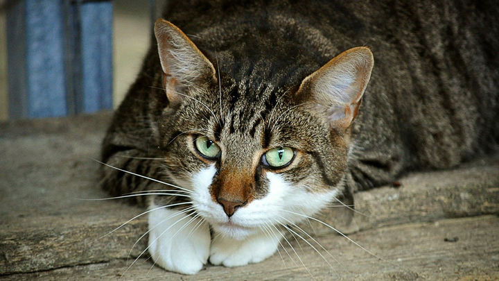 gatos-enfermedades