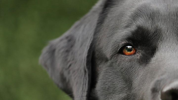 perros-orejas-largas