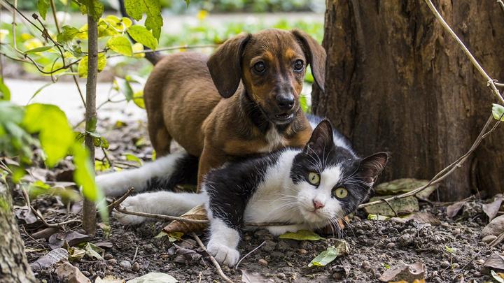filariosis-mascotas