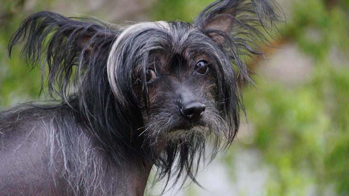perros-arrugas