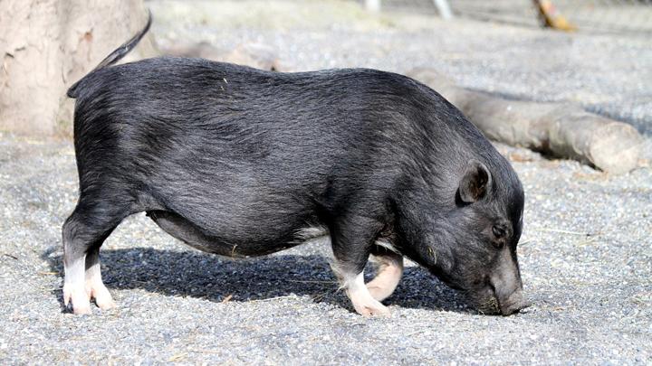 mini-pig
