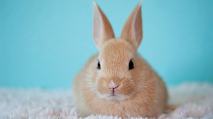 conejo-hogar