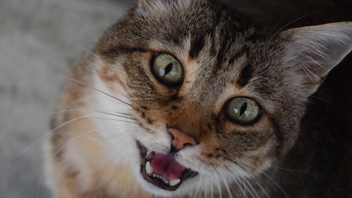 gato-maullar