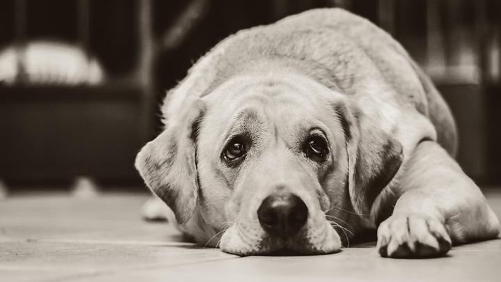 perro-tristeza