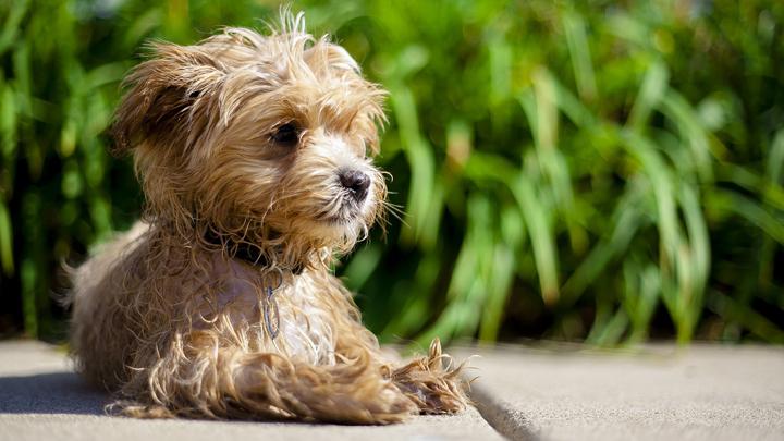 perro-maltipoo