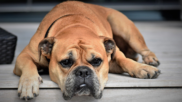 perro-aburrido