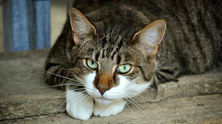 gato-artrosis