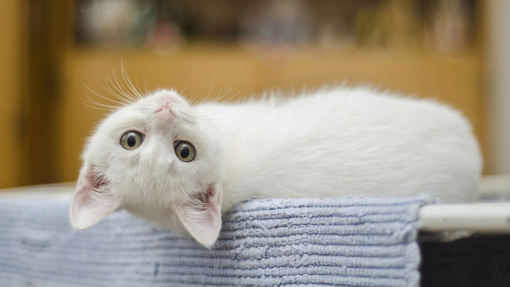 gatos-artrosis