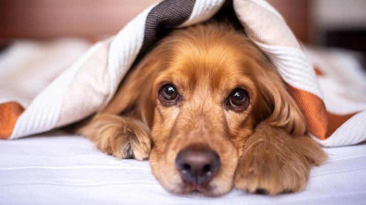 perro-articulaciones