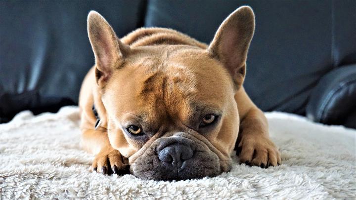 perros-cremas