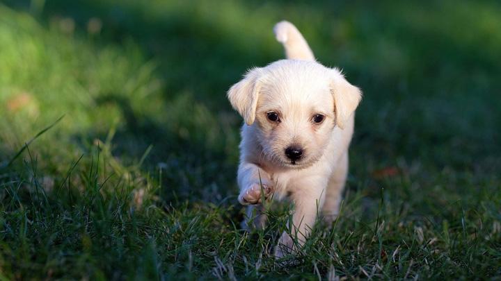 perros-temblores