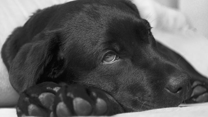 perros-fiebre