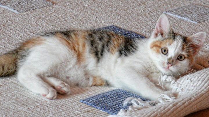 gato-alfombra