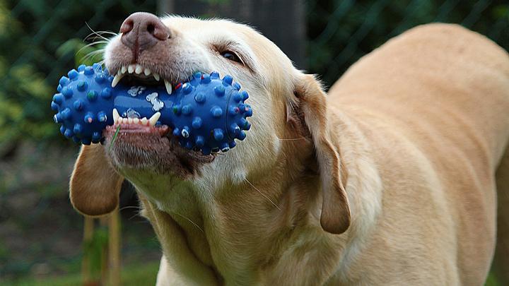 perro-dientes