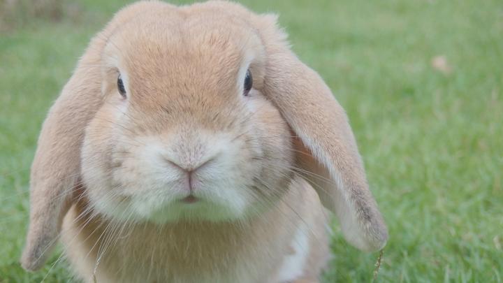 conejo-mascota