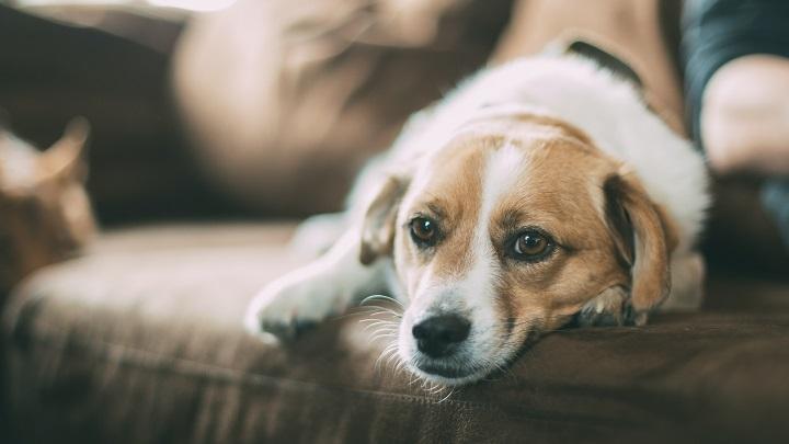 perro-estresado